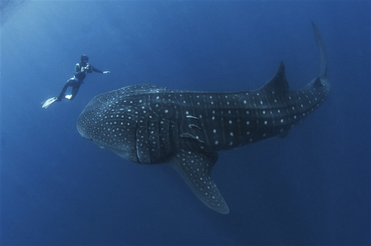 Man Almost Swallowed by Whale Shark