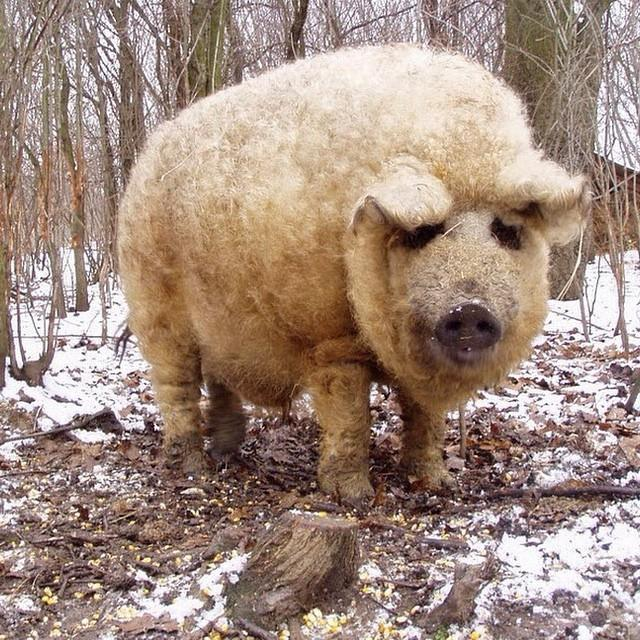 adorbly fuzzy mangalitsa pigs look like sheep and act like dogs