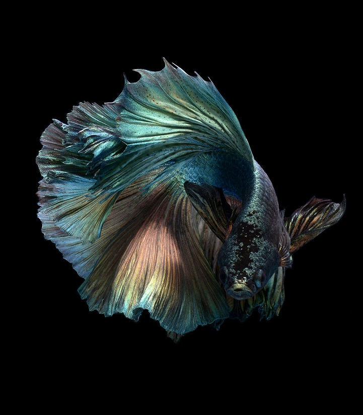 Expressive marine life portraits capture fantastic range for Siamese fighting fish crossword
