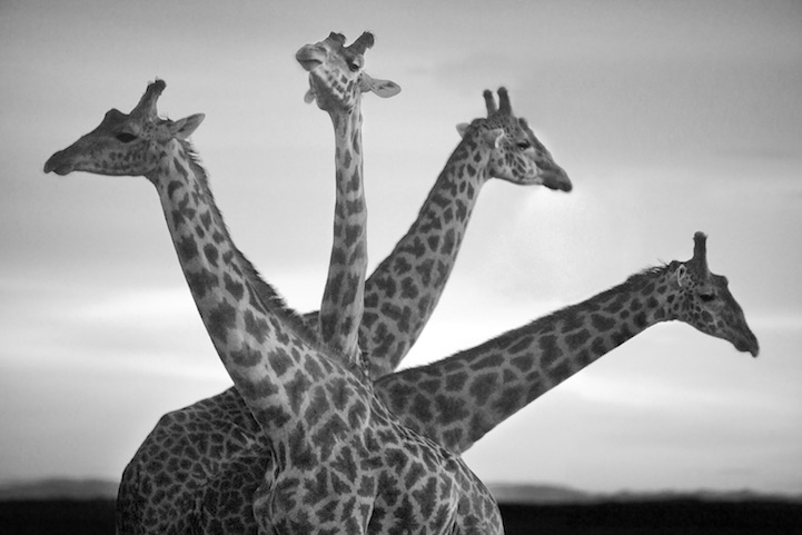 Black And White African Wildlife Photography
