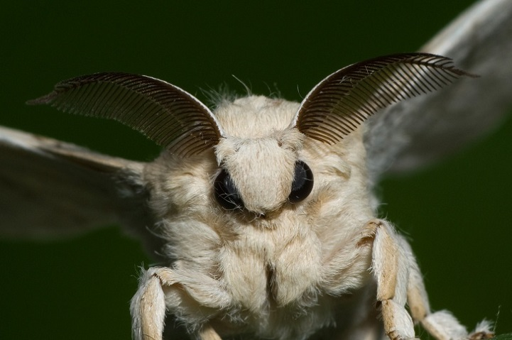 monster moth mysterious venezuelan poodle moth looks like a real life fairy