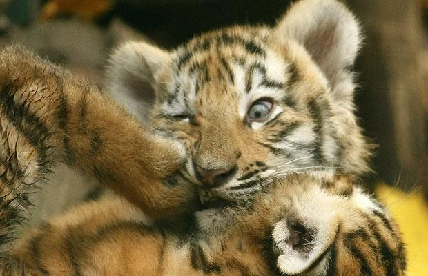 Hi-Def Pics - Best Animal Pictures of 2008 (13 Photos) Cute Siberian Tiger Cubs