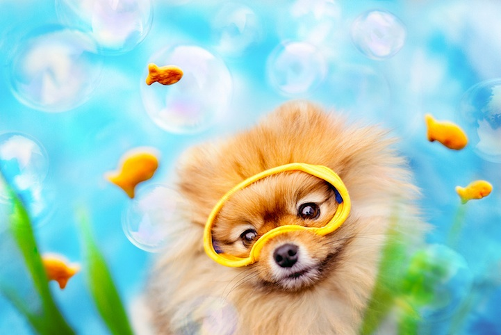 Meet Flint An Adorable Pomeranian That Will Melt Your Heart