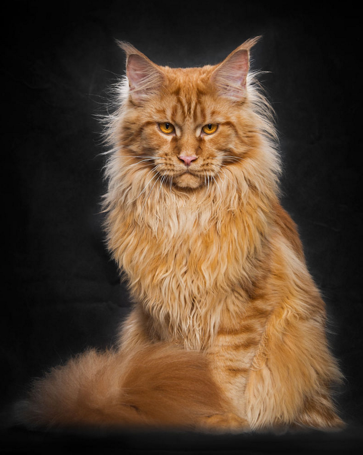 maine coon cat breeding maine coon cats breeding