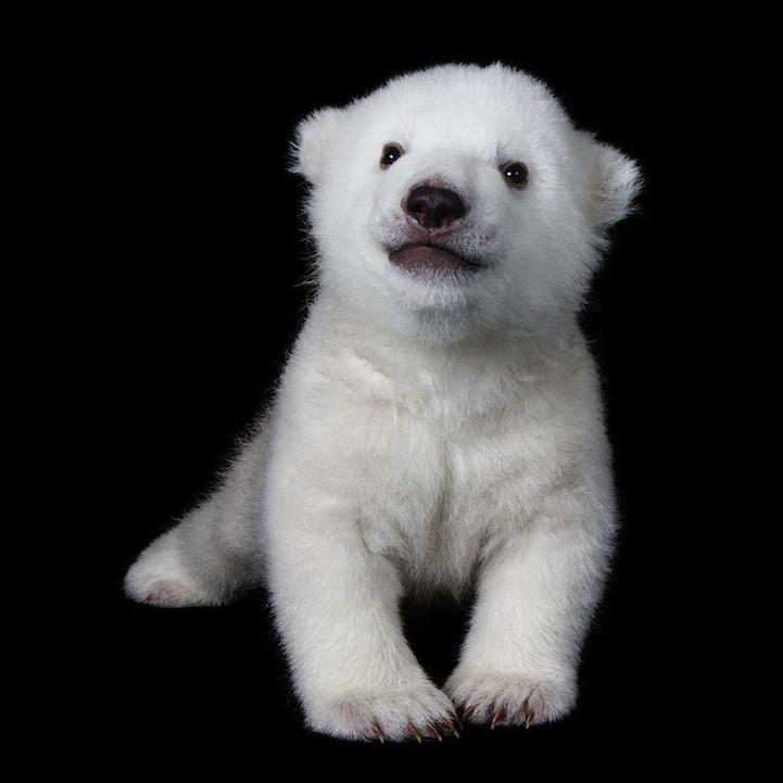 The Cutest Polar Bear Cub In The World