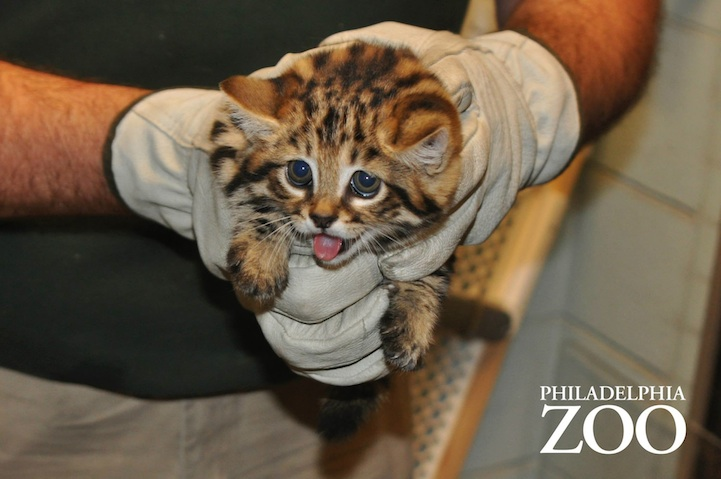 Philly Zoo S First Ever Black Footed Kittens Are