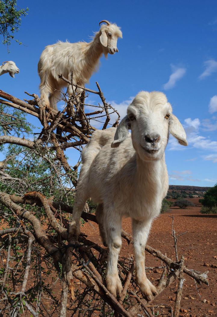 Photos Capture the Incredible Tree-Climbing Goats of ...