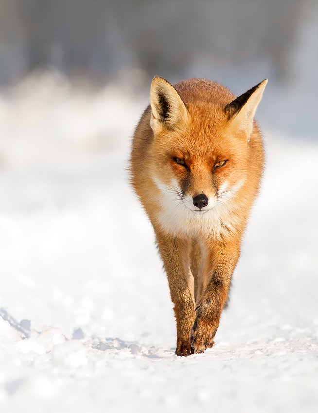 Fantastic Red Fox Photos Captured in the Wild