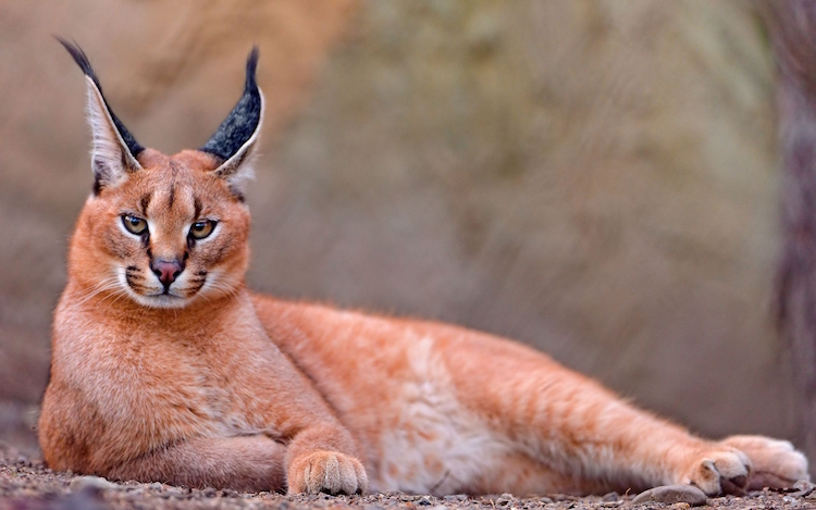 Caracal Cat With Strong Build
