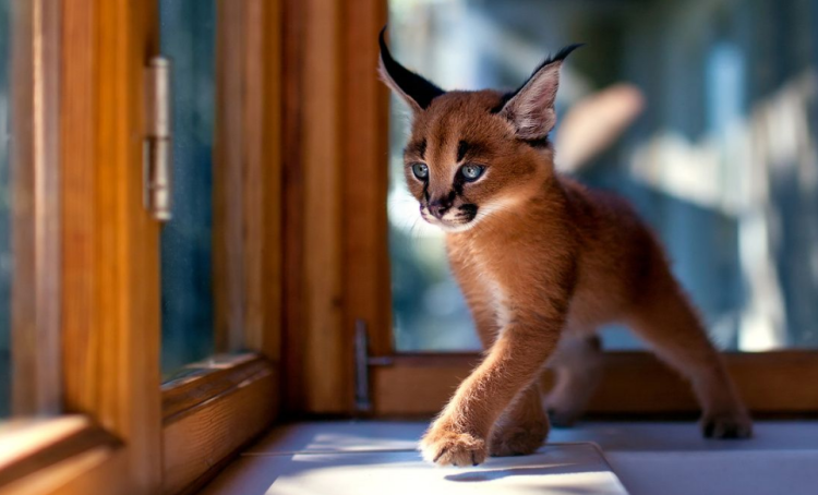 Adorable Caracal Kitten