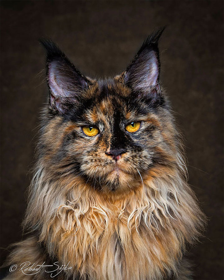 maine coon cat breeding maine coon