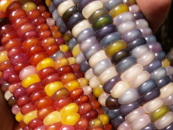 Close-up of Glass Gem Corn aka Rainbow Corn