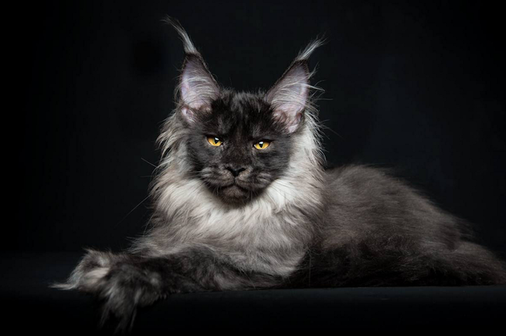 portraits of maine coon cats who look like majestic. Black Bedroom Furniture Sets. Home Design Ideas