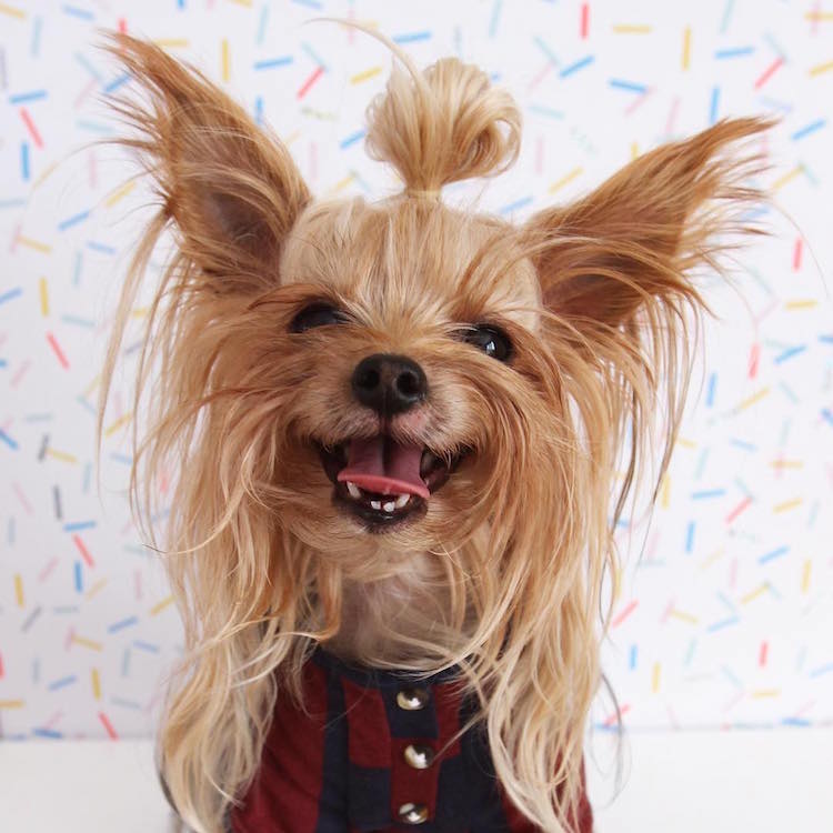 Stylish Yorkie Models Trendy Hairstyles With Her Long Locks