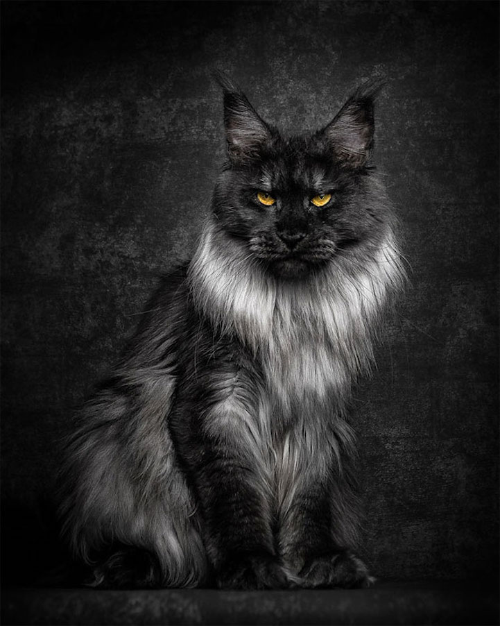 maine coon cat cats breeding