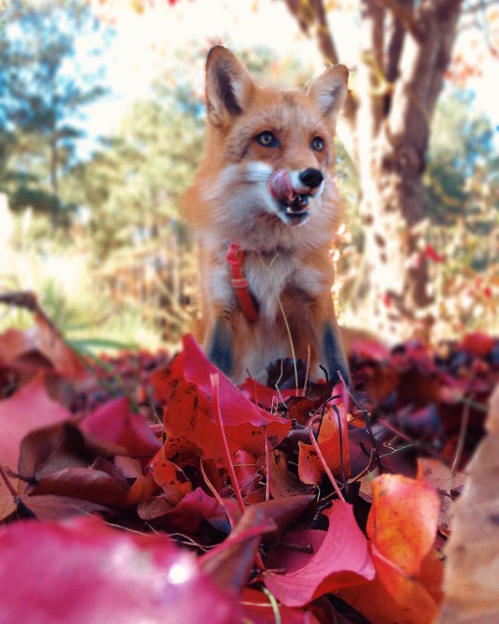 adorable pet fox