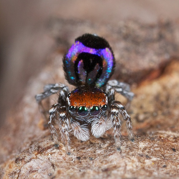 Peacock Spiders Are A Vibrantly Colored Rare Species, See