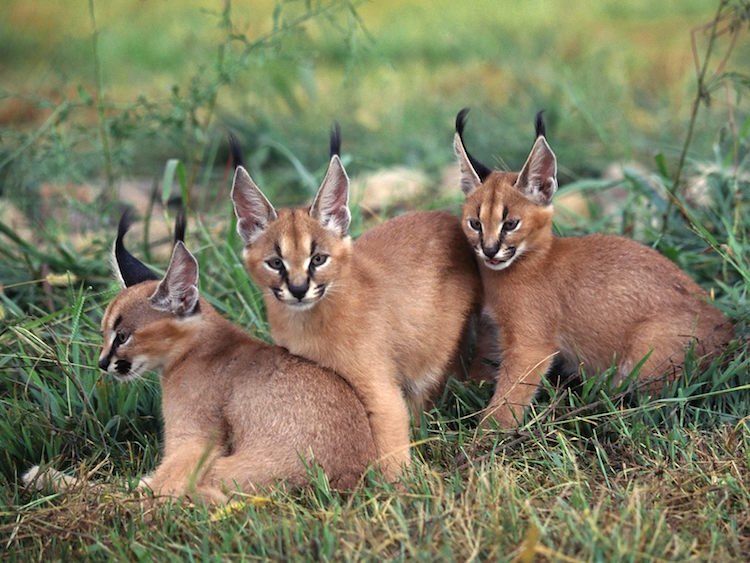 Caracal Kittens With Extra Pointy Ears
