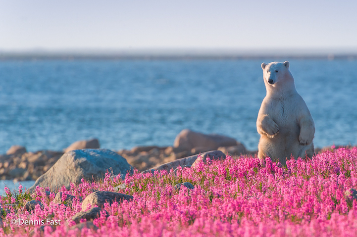 interview playful photos of polar bears frolicking in. Black Bedroom Furniture Sets. Home Design Ideas