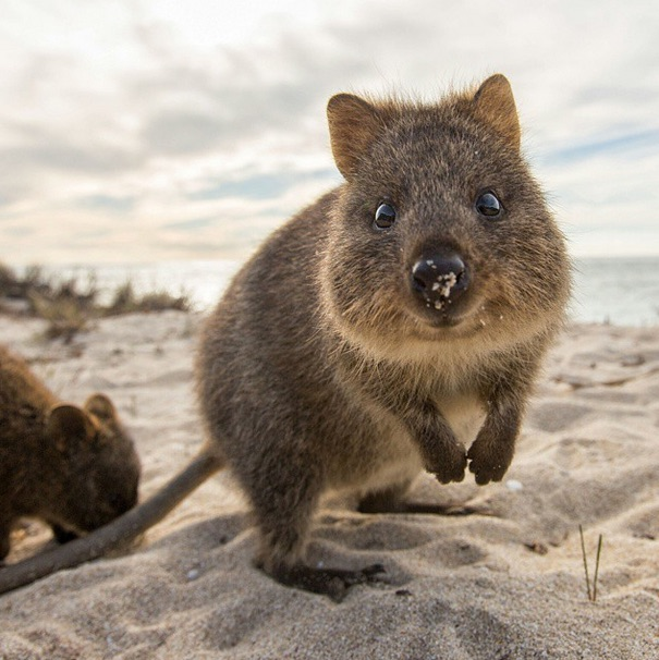 quokka smiling - photo #24
