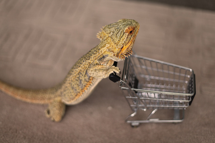 The Adorable and Funny Antics of Pringle the Bearded Dragon