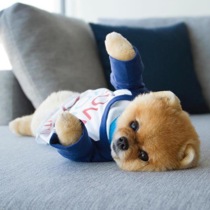 Adorable Pomeranian Amazes The World With Acrobatic Stunts