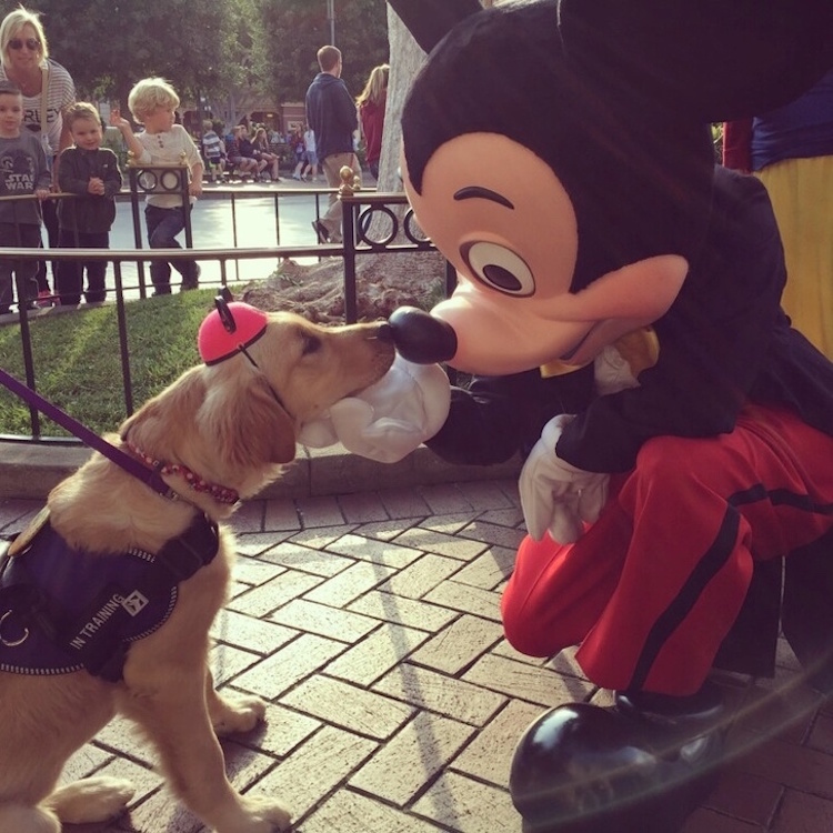 Sweet Snap Shot Of Support Dog With Mickey Mouse