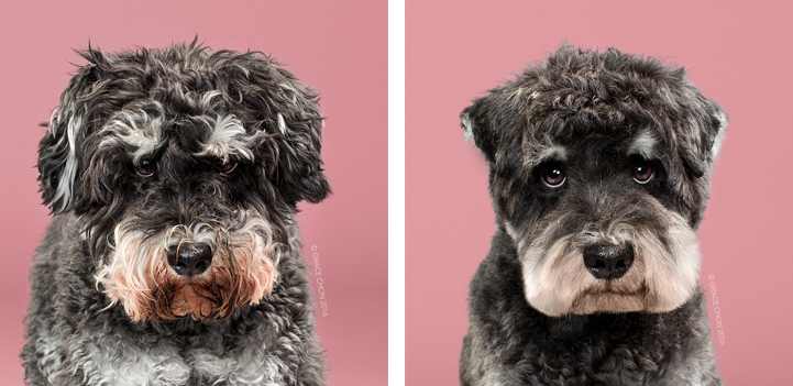 """Dog Modeling Agency >> """"Before"""" and """"After"""" Photos Reveal Dogs' Adorable Makeovers in Japanese-Style Grooming"""