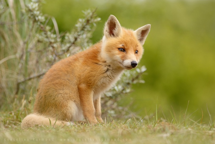 Heartwarming Photos of Adorable Baby Foxes  Heartwarming Ph...