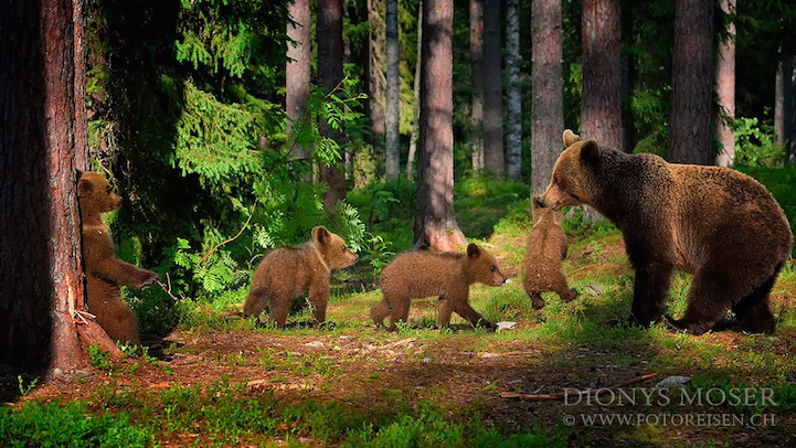 Heartwarming Photos Of Families Of Bears Living In Finland