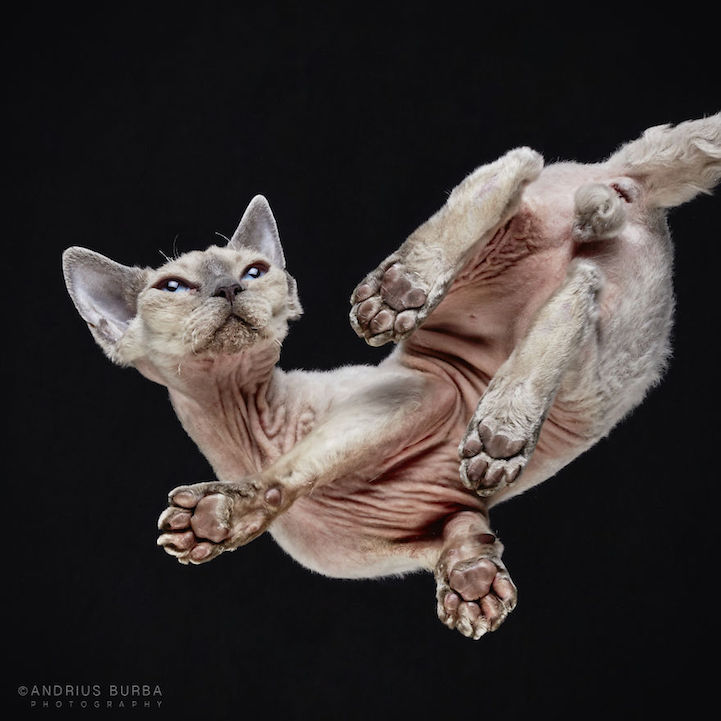 Adorable Underbelly of Cats Cleverly Revealed by ... - photo #30