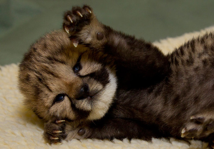 Cutest Cheetah Cub In The World (3 Pics + Video)