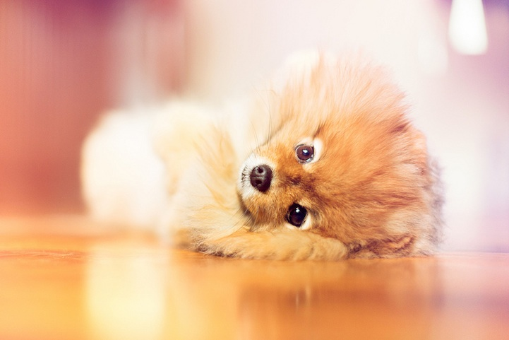 Meet Flint An Adorable Pomeranian That Will Melt Your Heart - Someone should have told this dog owner that pomeranians melt in water