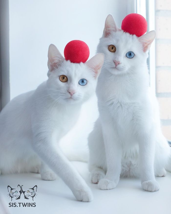 Adorable Twin Cats Share The Most Beautiful MultiColored Pair Of Eyes - This cat has the most amazing multi coloured eyes ever