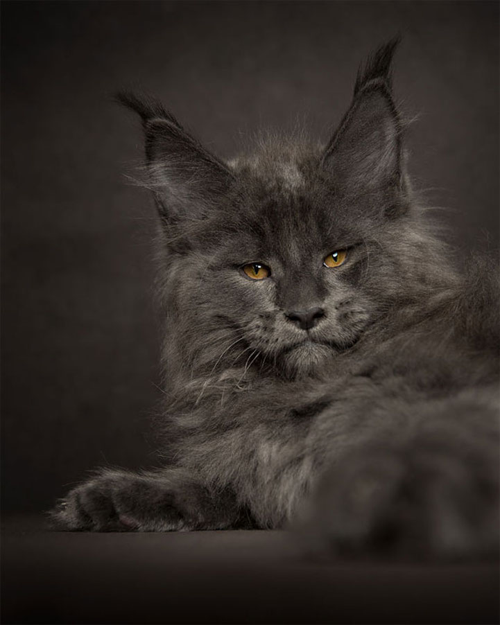 main coon cat cats breeding