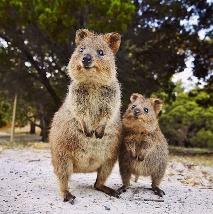 Quokka Selfie Trend Has People Posing with Adorable ...
