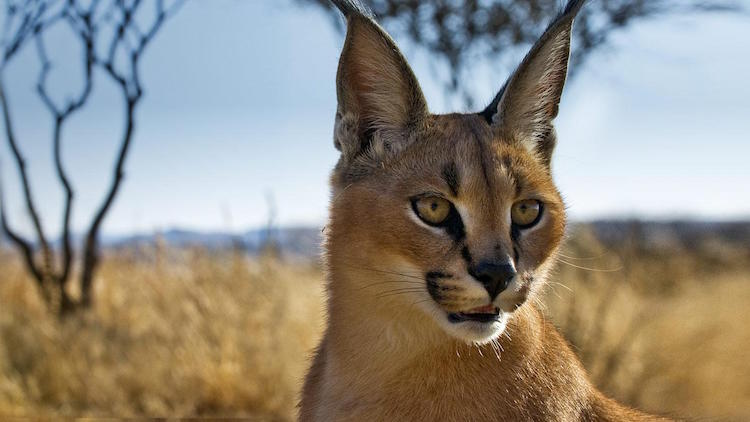 Caracal With Signature Tassel Ears