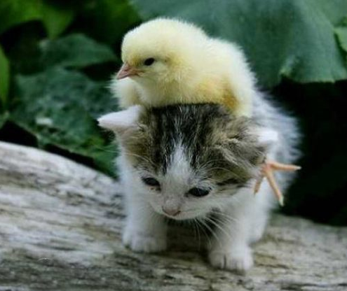animals riding animals nature cute funny cat chick