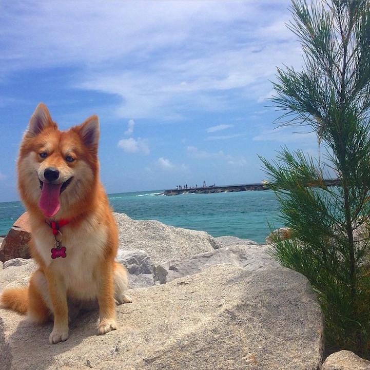 "Adorable ""Pomsky"" Pup is the Stunning Hybrid of a Pomeranian"