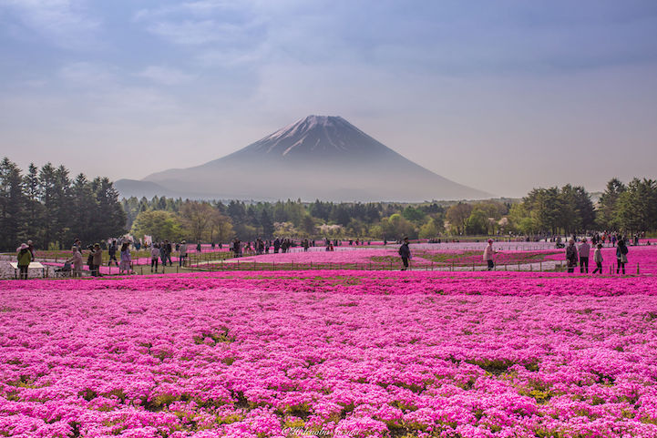 Tiny Home Designs: Vibrant Field Of Magenta Flowers At The Foot Of Mt. Fuji