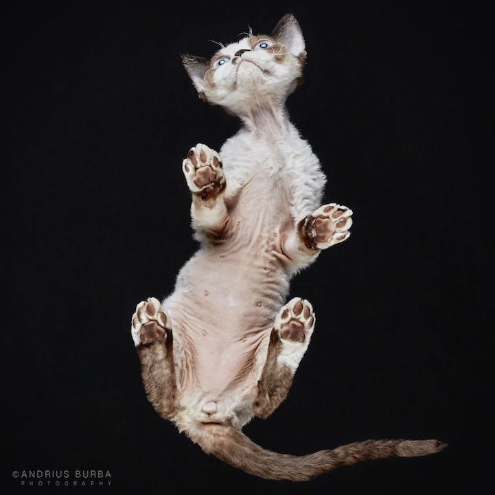 Adorable Underbelly of Cats Cleverly Revealed by ... - photo #25