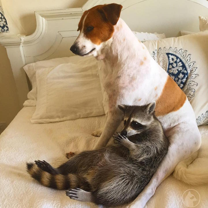 Orphaned Raccoon Thinks Shes A Dog After Being Rescued And Raised - Pumpkin rescued raccoon