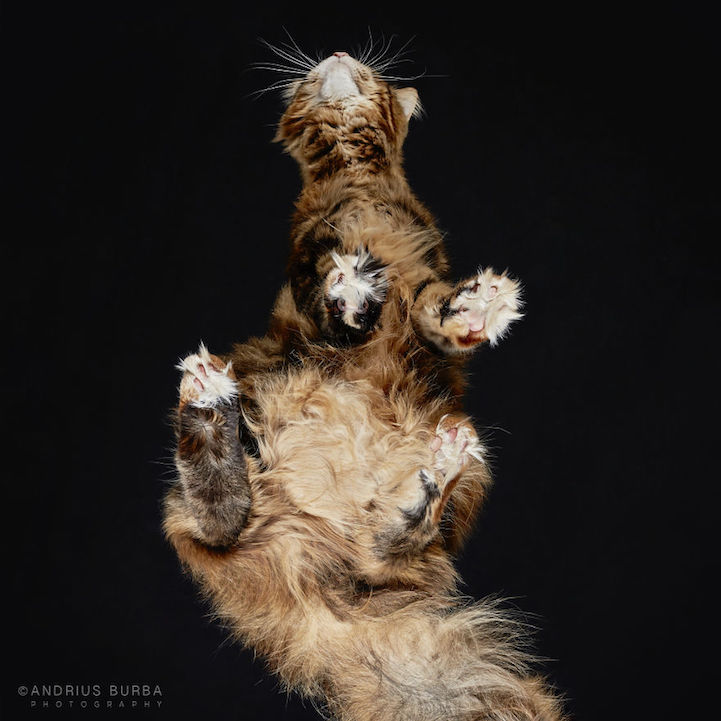 Adorable Underbelly of Cats Cleverly Revealed by ... - photo #31