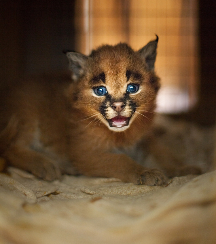 Adorable Fuzzy Caracal Kitten