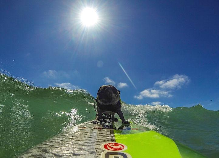 Brandy The Pug Is An AwardWinning Surfer And Snowboarder - Brandy the award winning surfing pug