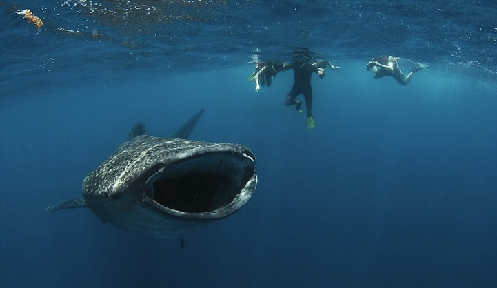Diver Almost Gets Swallowed Up By A Whale Shark