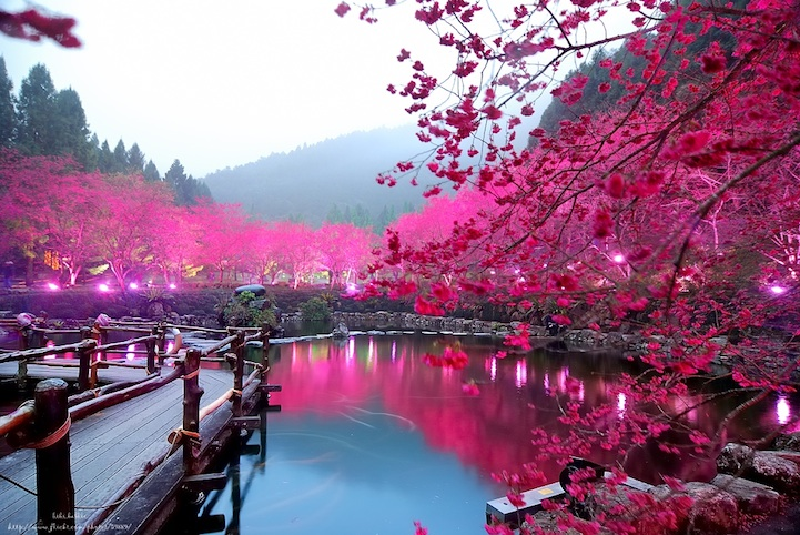 Taiwans Dazzling Cherry Blossom Trees Light Up At Night