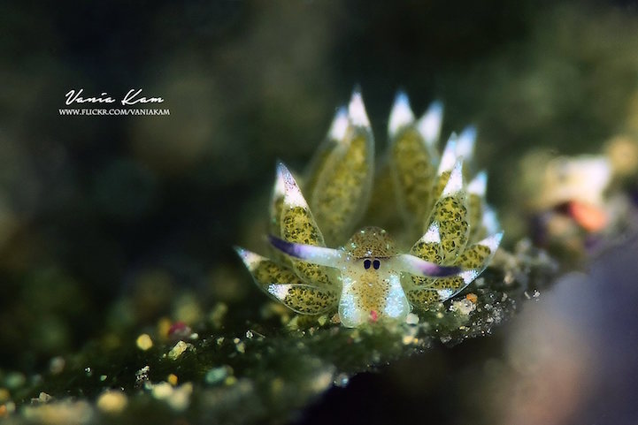 Adorable Leaf Sheep Sea Slug