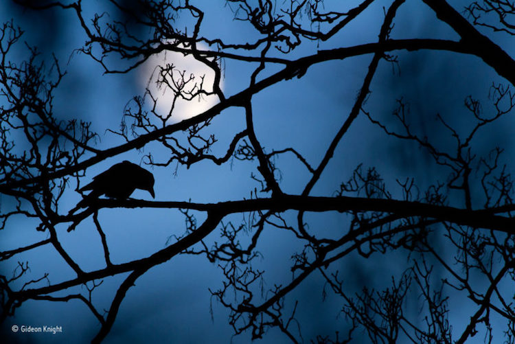 Supernatural Shot Of A Crow Hidden In The Branches