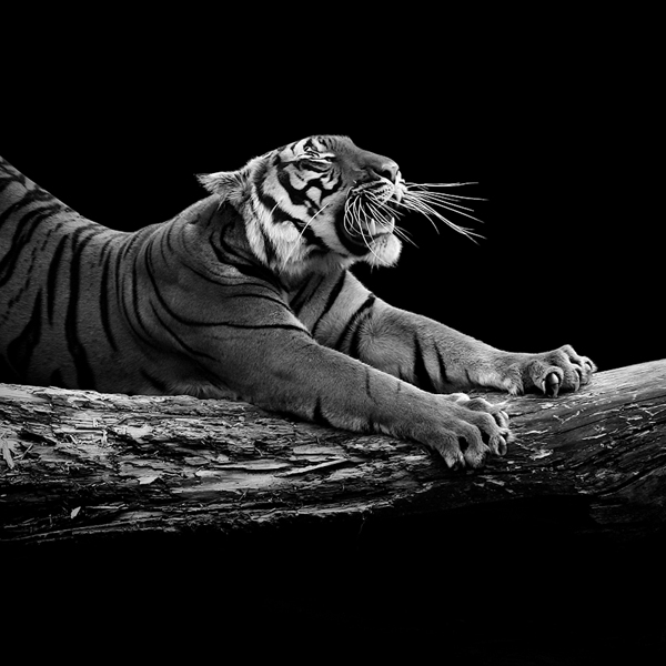 Breathtaking Black White Animal Portraits By Lukas Holas - Breathtaking black and white animal portraits by lukas holas